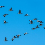 Group of Canadian geese flying south in a nice plow formation on a clear autumn dag with blue sky and sunshine